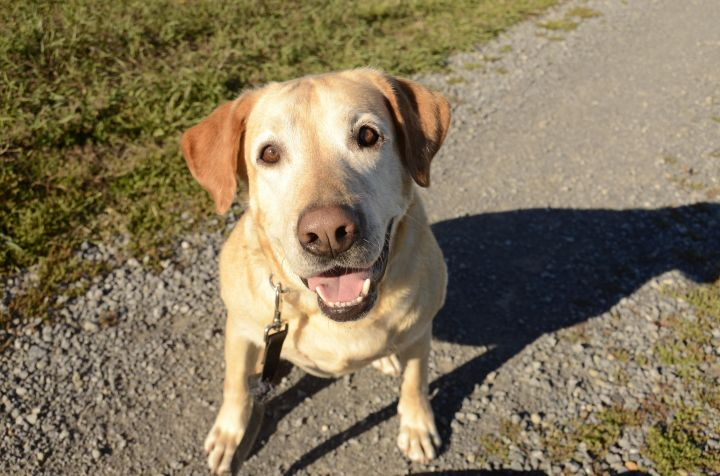 Charlie - adoption pending, an adopted Labrador Retriever in Ottawa, ON