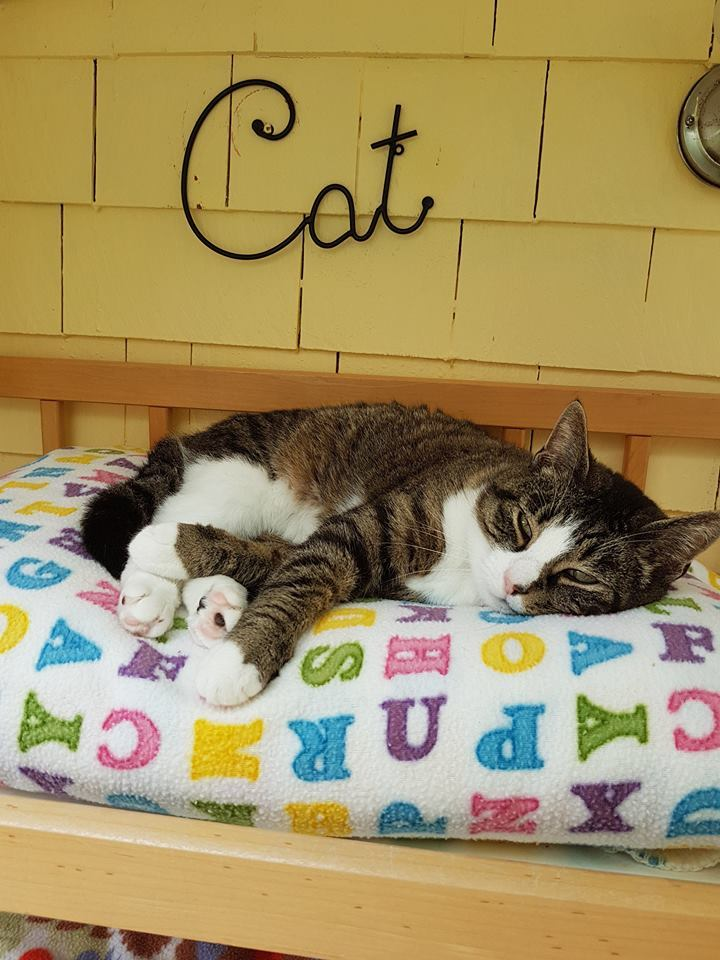 Tilly, an adopted Tabby & Domestic Short Hair Mix in Middleton, NS