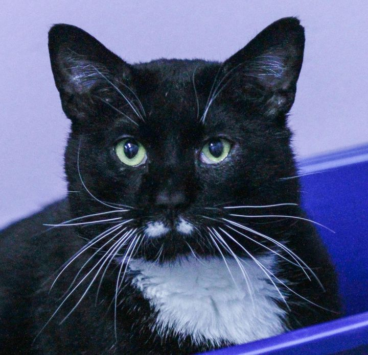 Sgt.Mustache, an adopted Domestic Medium Hair in Juneau, AK