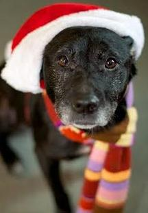 Callie the Cuddlebug, an adopted Black Labrador Retriever & Pit Bull Terrier Mix in Lunenburg, MA