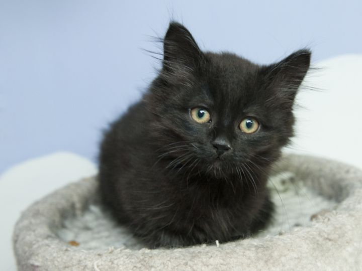 Nickey, an adopted Domestic Long Hair Mix in Fort Smith, NT