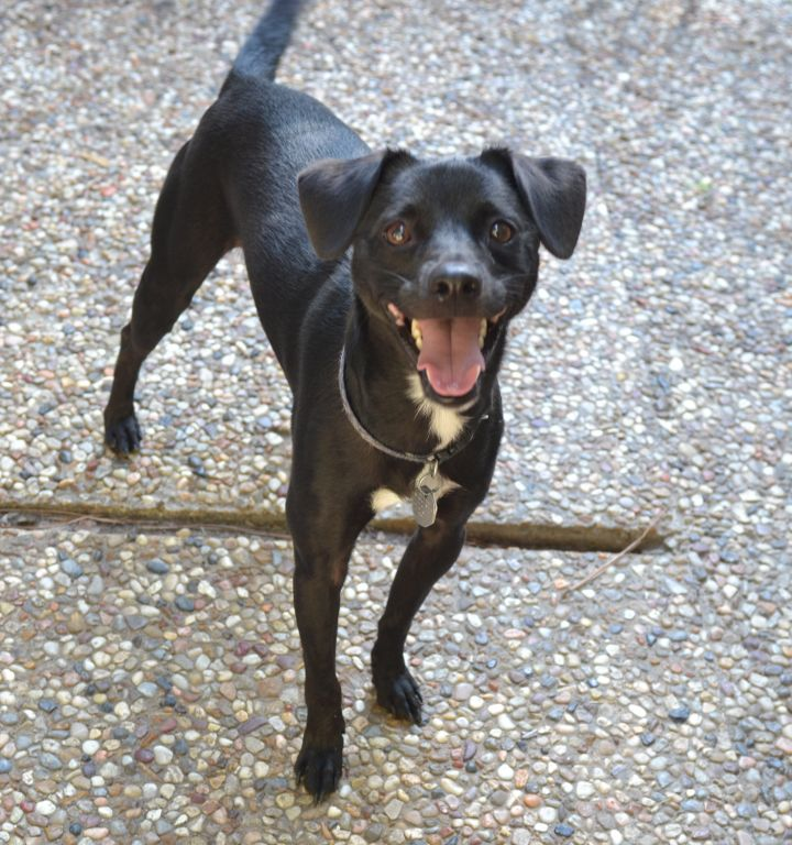 Rocky, an adopted Rat Terrier & Miniature Pinscher Mix in Houston, TX