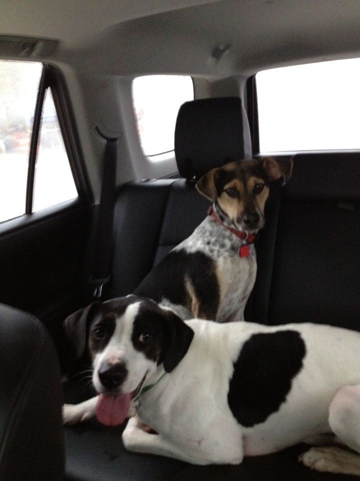 Briggs, an adopted English Pointer & Pointer Mix in Houston, TX