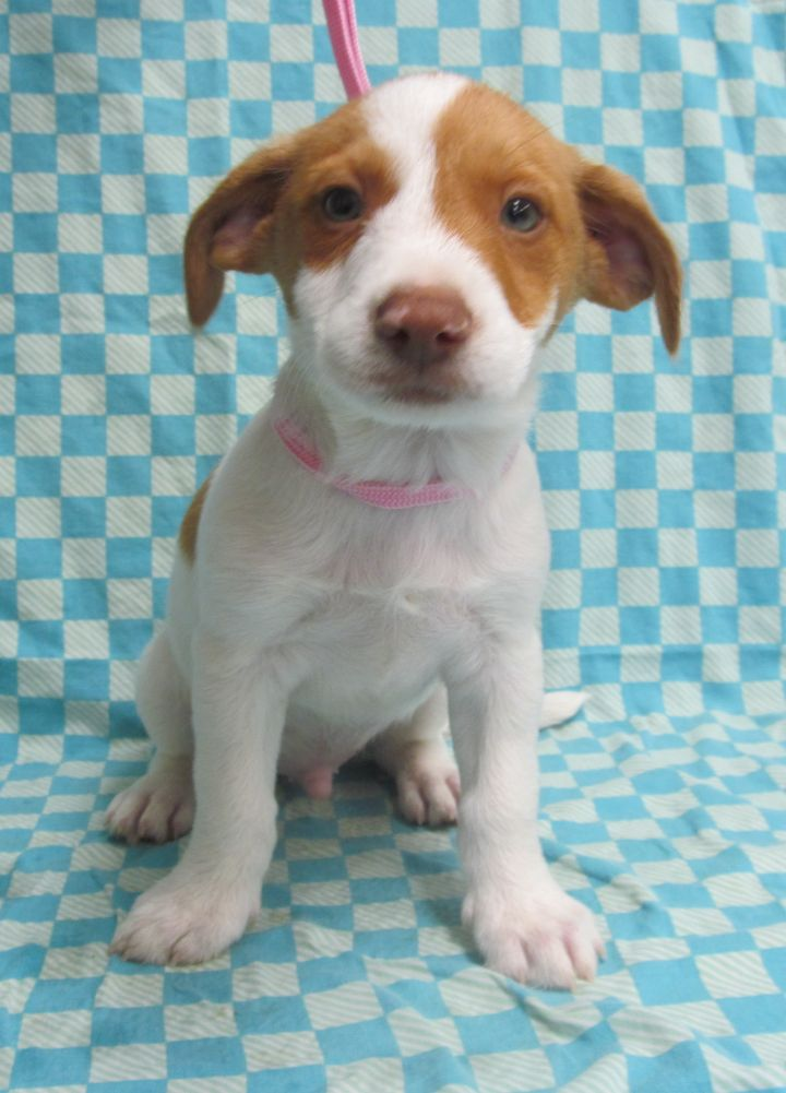 McHenry, an adopted Brittany Spaniel Mix in Morton Grove, IL