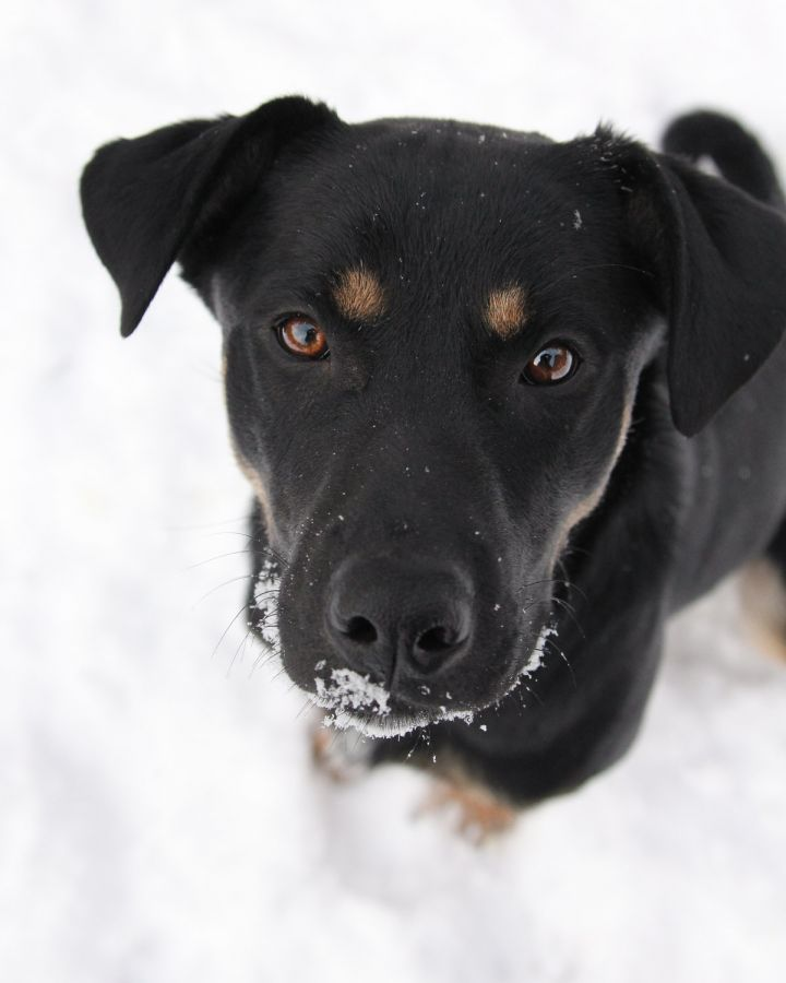 Nacho, an adopted Shepherd & Rottweiler Mix in Winnipeg, MB_image-1