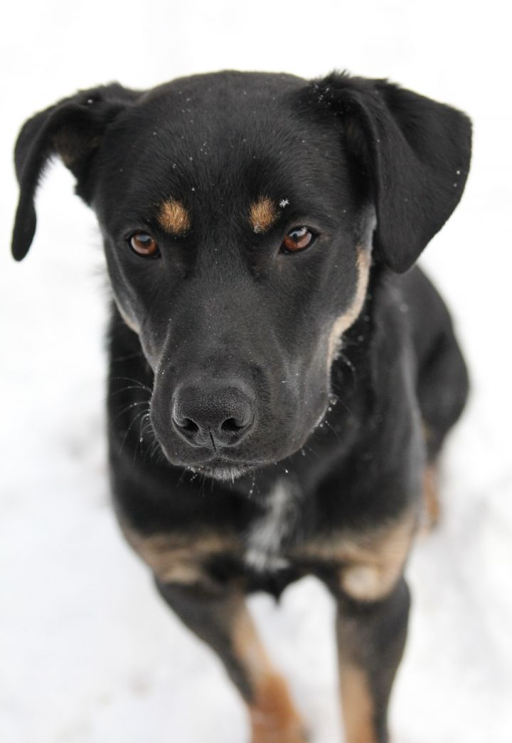 Nacho, an adopted Shepherd & Rottweiler Mix in Winnipeg, MB_image-2