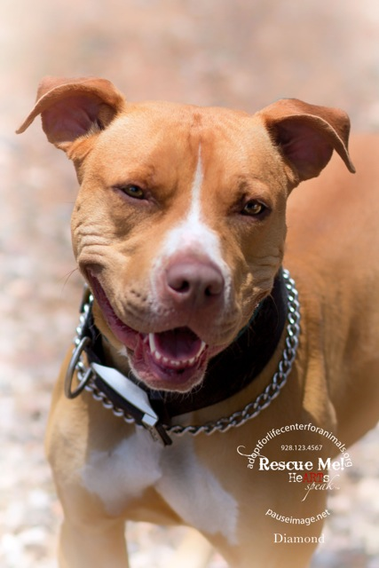 DIAMOND, an adopted Boxer & Cattle Dog Mix in Chandler, AZ