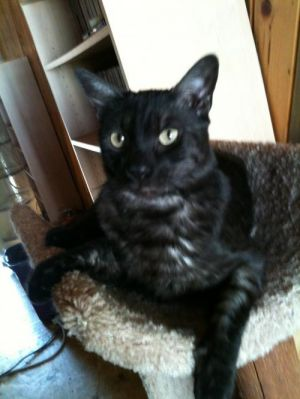 Smokey Moe Domestic Short Hair Cat