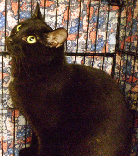 Jet [PF], an adoptable Domestic Short Hair Mix in Santa Fe, NM_image-1