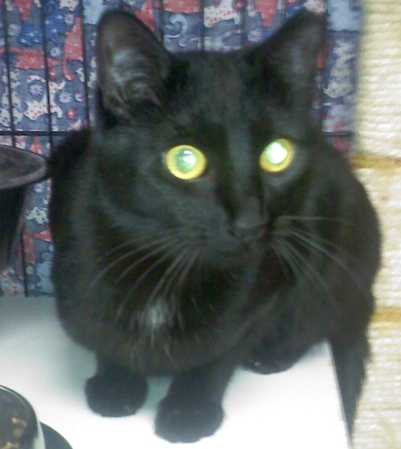 Inky, an adopted Domestic Medium Hair Mix in Santa Fe, NM