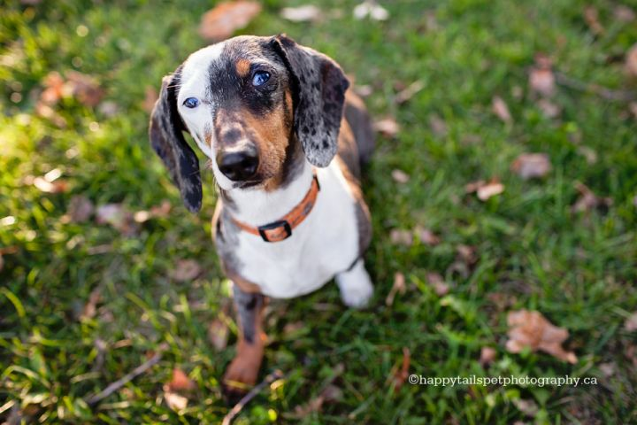 Rizzo, an adopted Dachshund in Toronto, ON_image-1