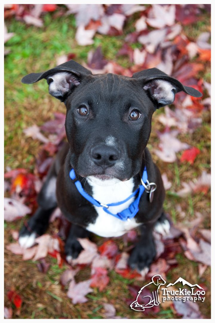 Brixton, an adopted Pit Bull Terrier & American Staffordshire Terrier Mix in Morrisville, VT