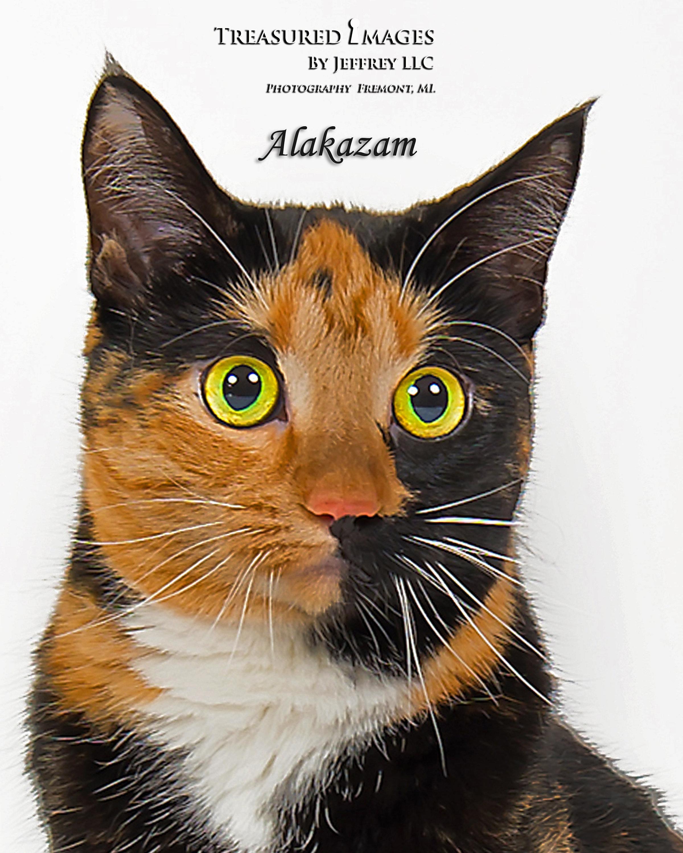 Cat for Adoption – Alakzam, near Fremont, MI | Petfinder