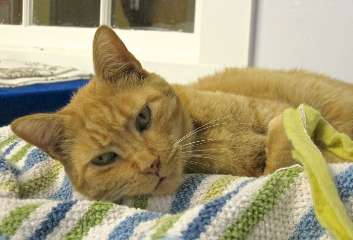 Pumpkin, an adopted Domestic Short Hair & Tiger Mix in Hull, MA