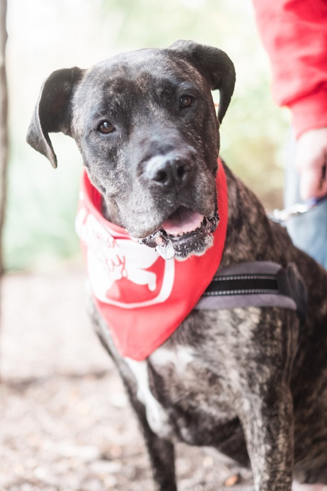 Fiona, an adopted Boxer & Great Dane Mix in Roselle, IL