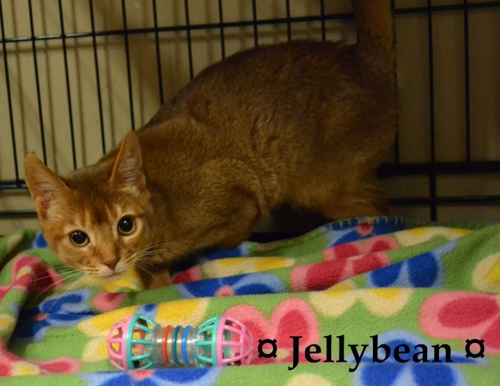 Jellybean, an adopted Abyssinian in Anjou, QC