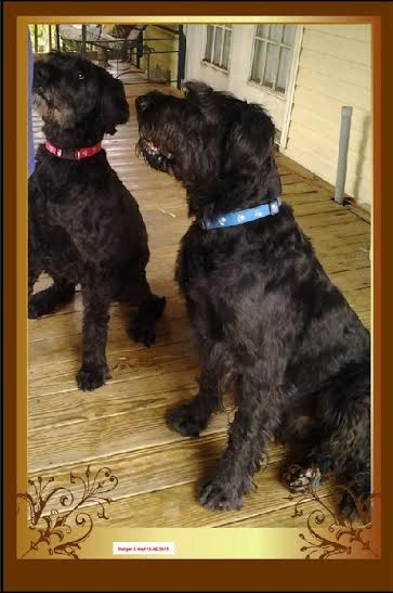 Alabama Hoyt and Ranger, an adopted Giant Schnauzer in Phoenix, AZ