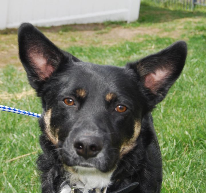 Spencer, an adopted German Shepherd Dog Mix in Kansas City, MO