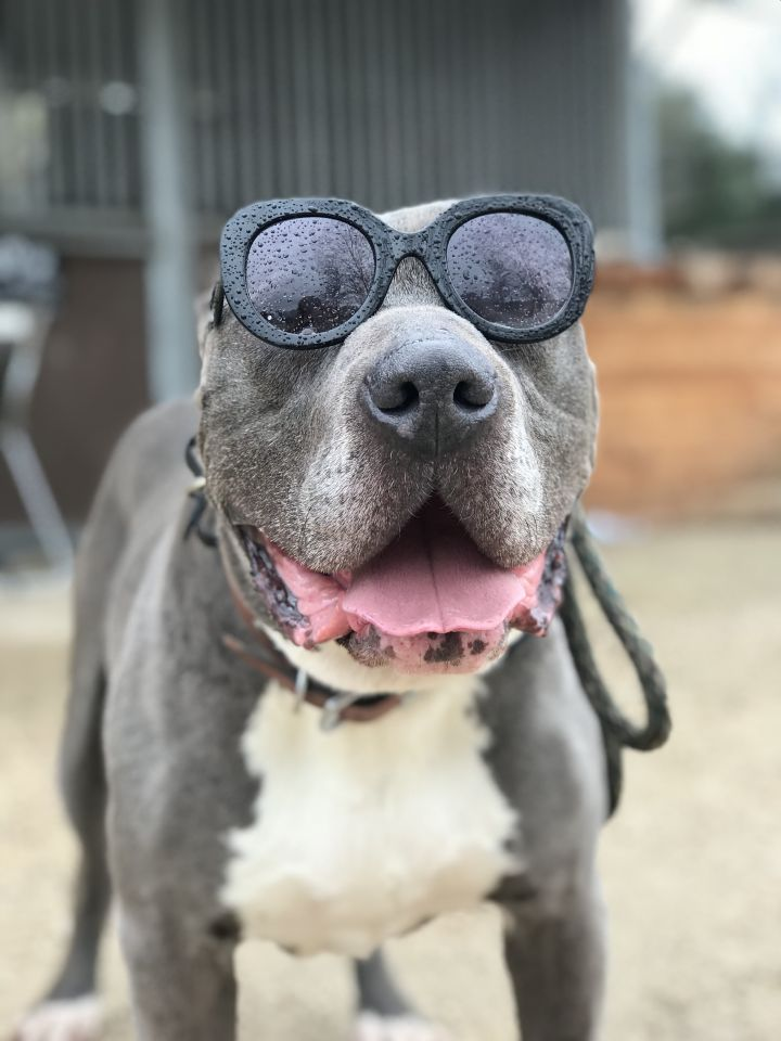 Mr. B, an adoptable Pit Bull Terrier in Los Olivos, CA