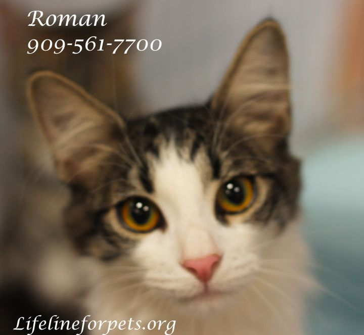ROMAN, an adopted Domestic Medium Hair & Tabby Mix in Monrovia, CA