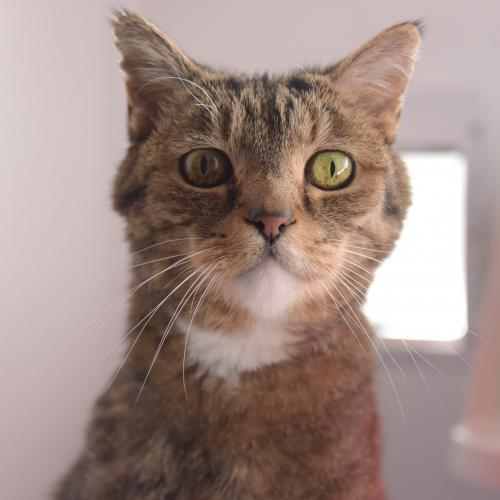 Cappuccino, an adopted Domestic Short Hair & Tabby Mix in Santa Fe, NM