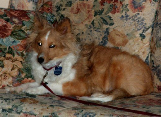 Chrissy, an adopted Shetland Sheepdog / Sheltie in Grand Rapids, MI
