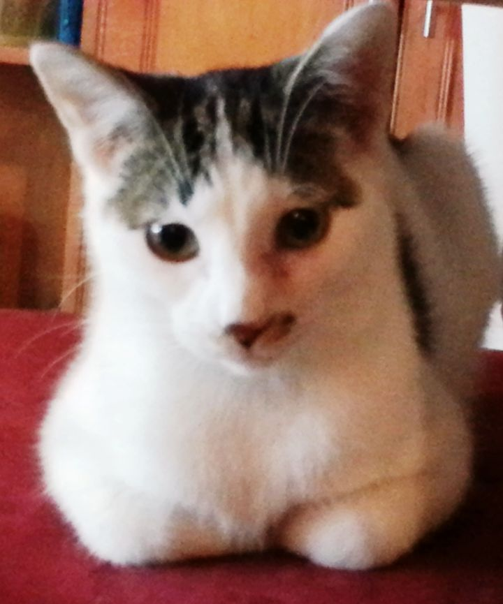 Dr. Sheldon Cooper, an adoptable American Shorthair in Bloomingdale, IL