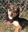 Chihuahua Dog: Toby
