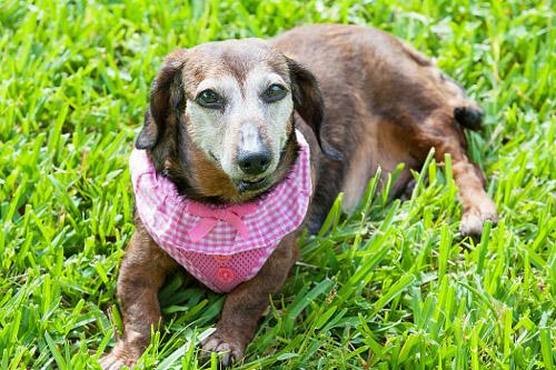 Teena, an adopted Dachshund in Miami Beach, FL