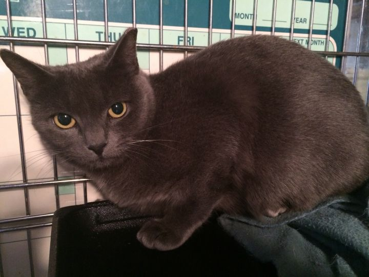 Stormy, an adopted Russian Blue & Korat Mix in Tallahassee, FL