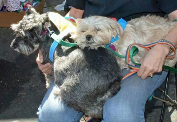 Tinkerbell and Lola, an adopted Schnauzer & Yorkshire Terrier Mix in Phoenix, AZ