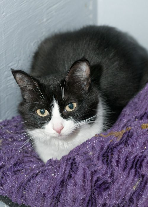 Mags, an adopted Domestic Short Hair in Fort Smith, NT