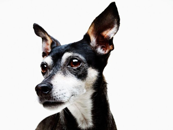 Sargent, an adopted Terrier & Miniature Pinscher Mix in Los Angeles, CA
