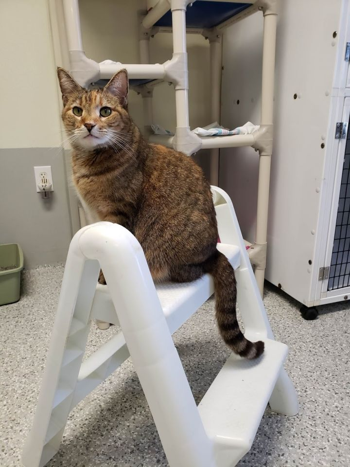Foxy, an adoptable Tiger in Eglin AFB, FL