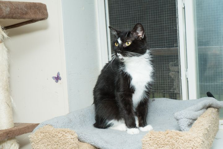 Whitesocks, an adoptable Domestic Short Hair in Chicago, IL