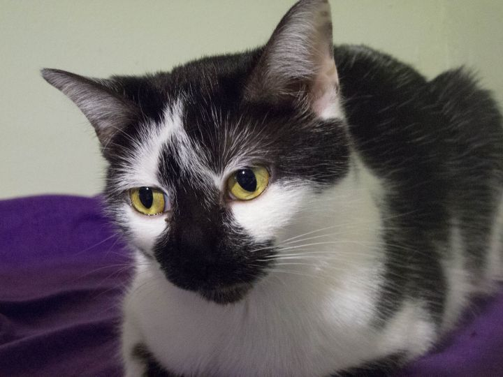 Queen, an adoptable Domestic Short Hair in Chicago, IL