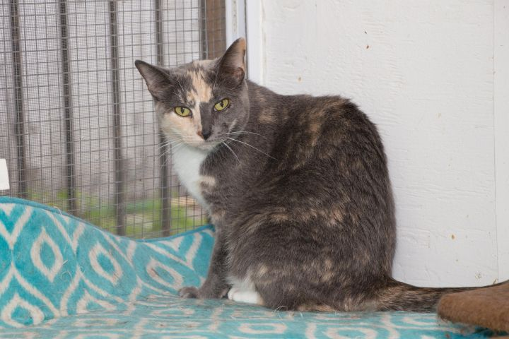 Pretty Girl, an adoptable Domestic Short Hair in Chicago, IL
