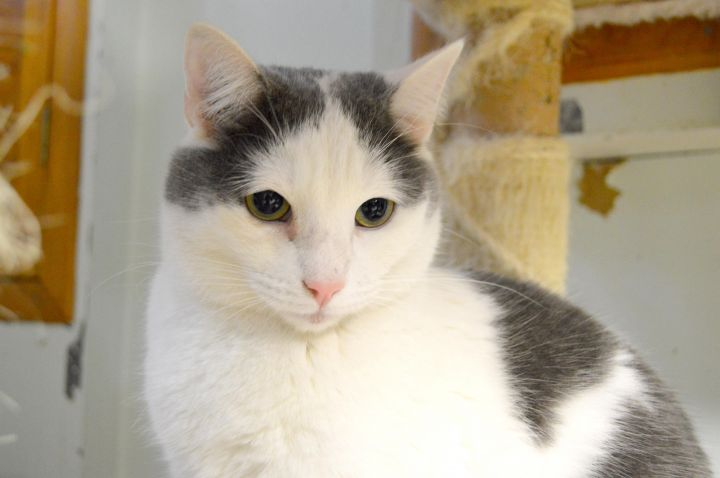 Griffin, an adoptable Domestic Short Hair in South Ozone Park, NY