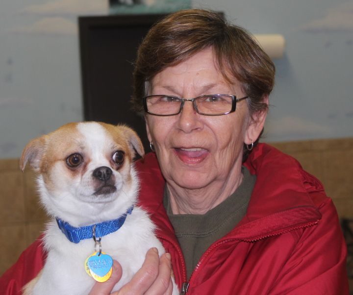 Alvin, an adopted Chihuahua & Japanese Chin Mix in Mechanicsburg, PA