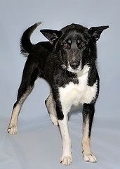 Sydney, an adopted Border Collie & Shepherd Mix in Gatineau, QC