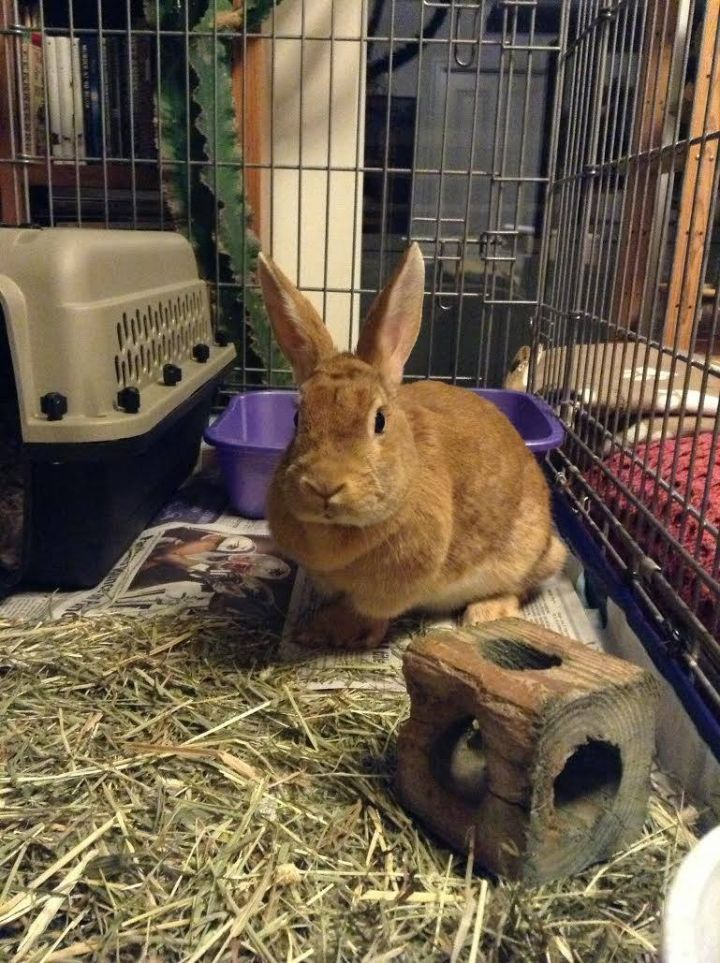 Sable, an adopted Bunny Rabbit in Anchorage, AK