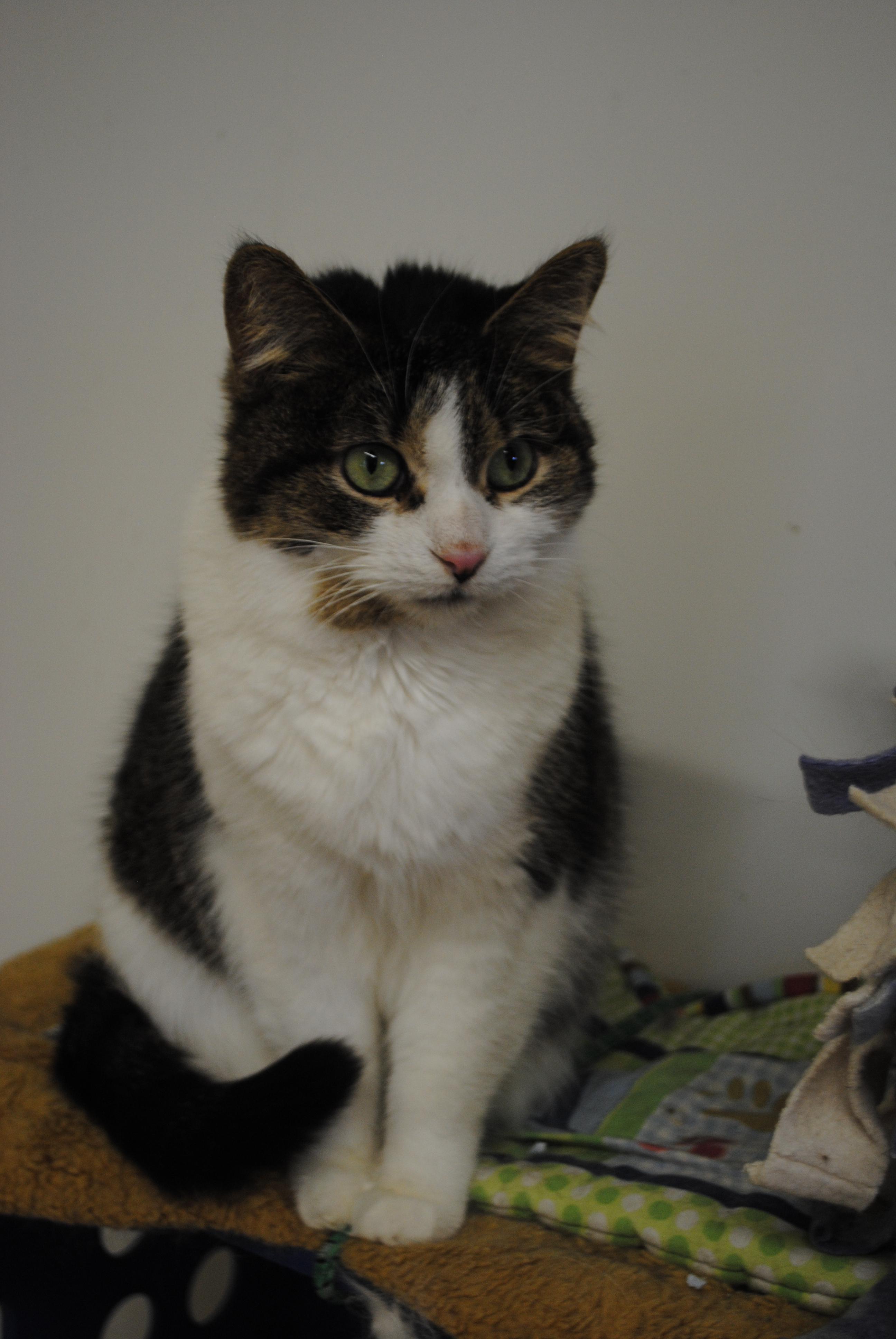 Cat for Adoption – Mystique, near Bay City, MI | Petfinder