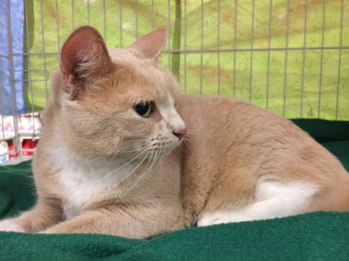 Buttercup, an adopted Domestic Short Hair in Tallahassee, FL