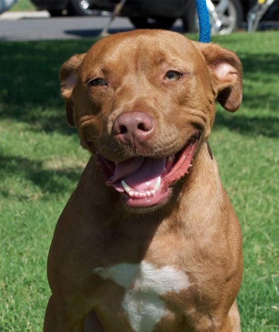 Dog for adoption - Romeo, an American Bulldog & Pit Bull