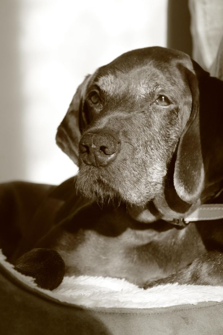 Viva, an adopted Pointer & German Shorthaired Pointer Mix in Grand-Mere, QC