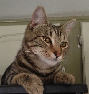 Casey, an adoptable Domestic Short Hair & Tabby Mix in Springwater, NY