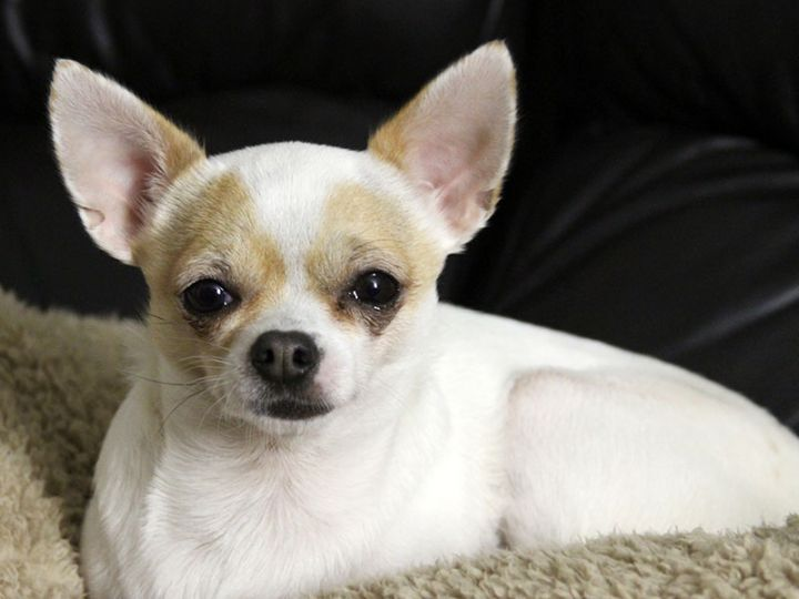 Nora - wounded soul, an adopted Chihuahua in Jefferson, GA