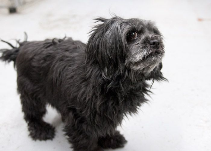 Pepper, an adopted Cockapoo & Shih Tzu Mix in Fort Smith, NT