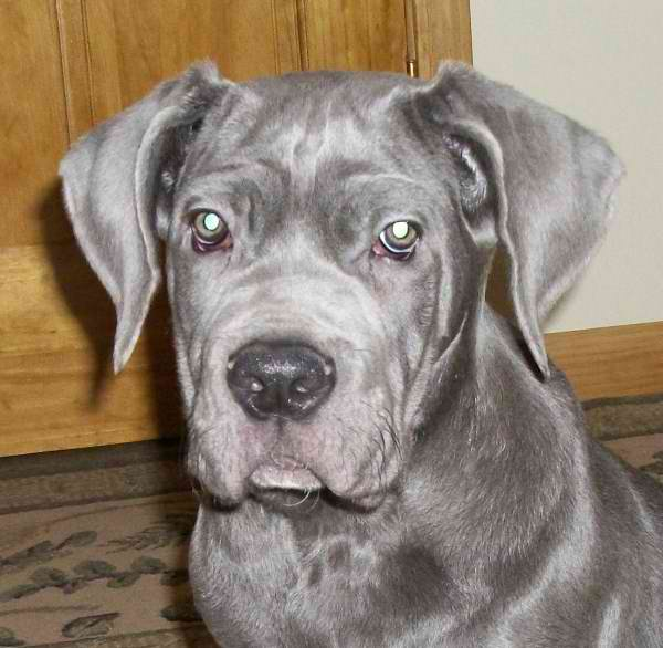 Duke, an adopted Neapolitan Mastiff in Aurora, CO