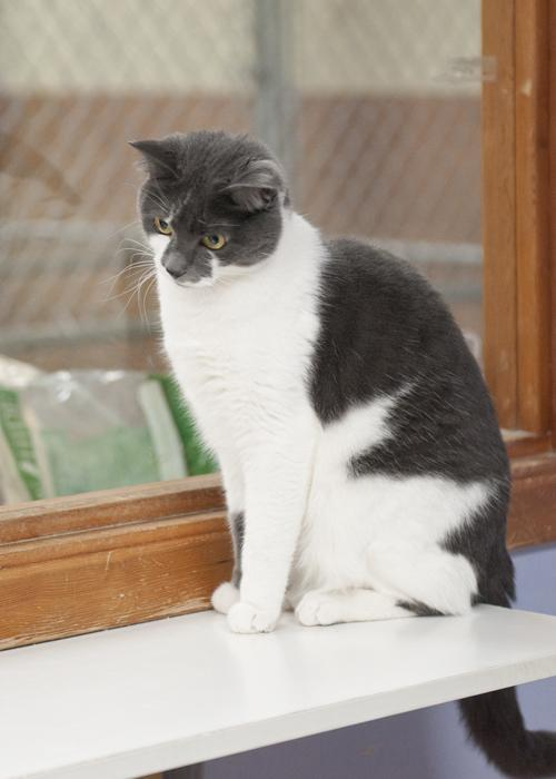 Billie, an adopted Domestic Short Hair in Fort Smith, NT